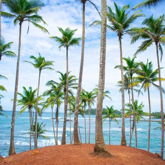 sri lanka palmbomen